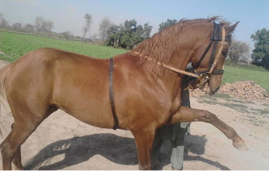 Burj Mandi Horses For Sale OLX Faisalabad Free Classifieds