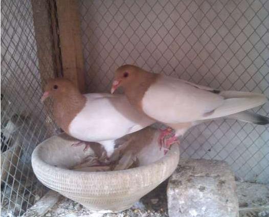 Mailsi Pigeons For Sale Classifieds Craigslist Vehari Backpage Free Ads