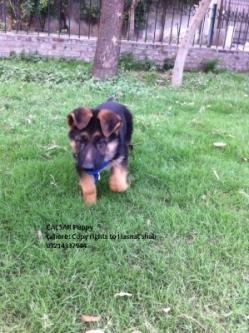 German Shepherd Puppy Non pedigree for sale | Rawat | Rawalpindi