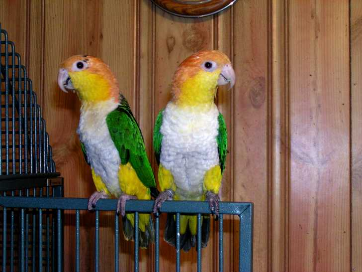Pindi Bahauddin Birds For Sale OLX Mandi Bahauddin Free Classifieds