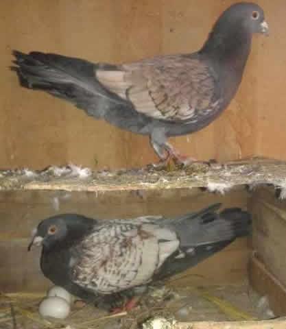 Luddan Pigeons For Sale OLX Vehari Free Classifieds OLX Ads
