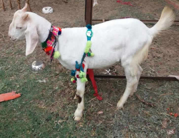 Goat For Sale OLX Peshawar Free Classifieds OLX Ads