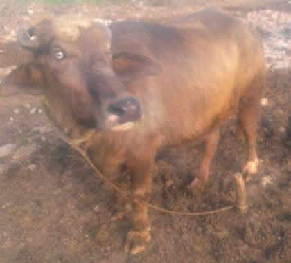 Shad Bagh Cows For Sale OLX Lahore Free Classifieds OLX Ads