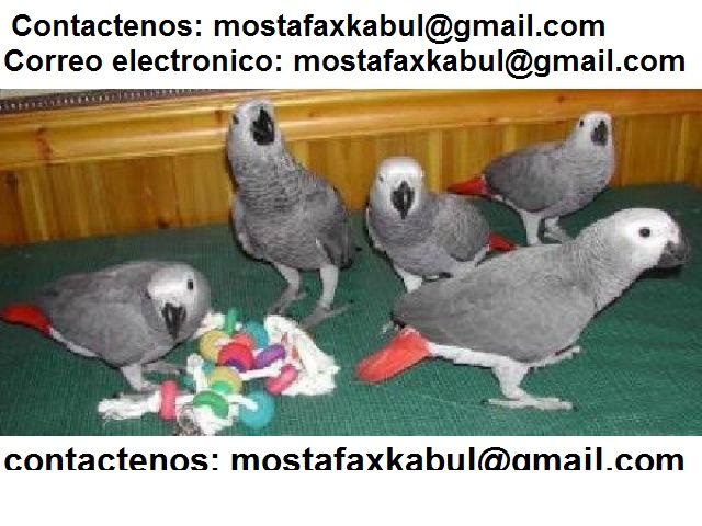 Jauharabad Parrots For Sale OLX Khushab Free Classifieds OLX Ads