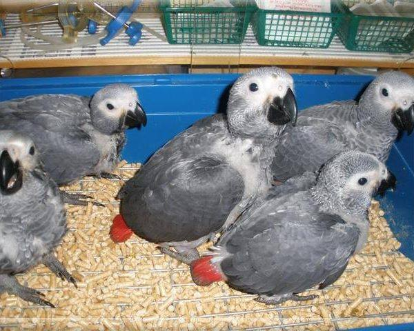 Landhi Town Parrots For Sale OLX Karachi Free Classifieds