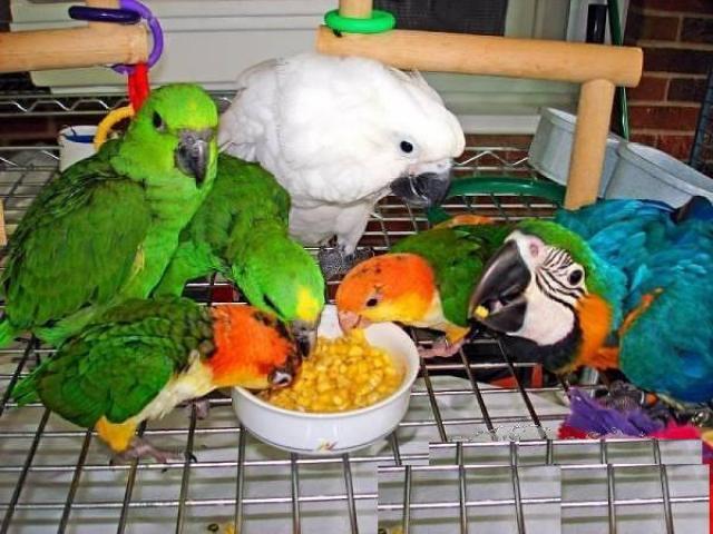 Olx Parrots Karachi