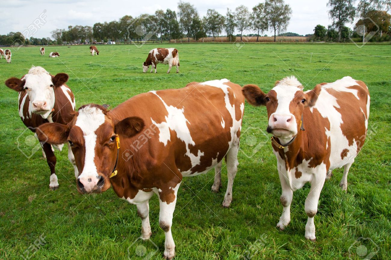 Chakwal Cows For Sale OLX Chakwal Free Classifieds OLX Ads