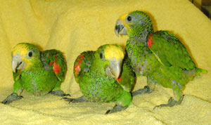 Parrots For Sale OLX Nawabshah Free Classifieds OLX Ads