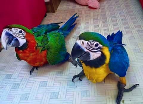 Birds For Sale OLX Peshawar Free Classifieds OLX Ads